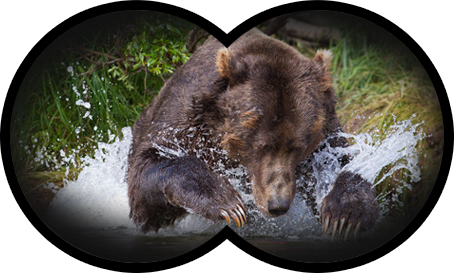 Grizzly bear jumping in water